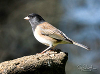 Oregon Junco-ajsrszsg-H1842