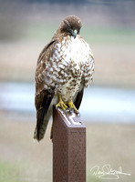 Hawk on Post-ajsrszsg-V1784