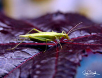 CA Tree Cricket-szsg-8278