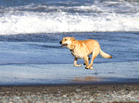 Golden Lab dog running on Beach